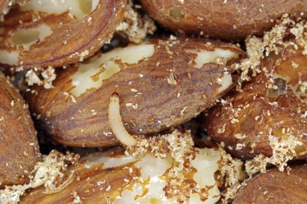 Larva potravinového mola má ráda i ořechy