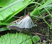Foto motýla zavíječe zimostrázového