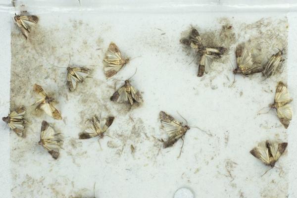 Past na moučné moly