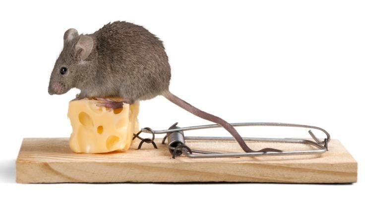Sýr není nejvhodnější návnadou do pasti na myši