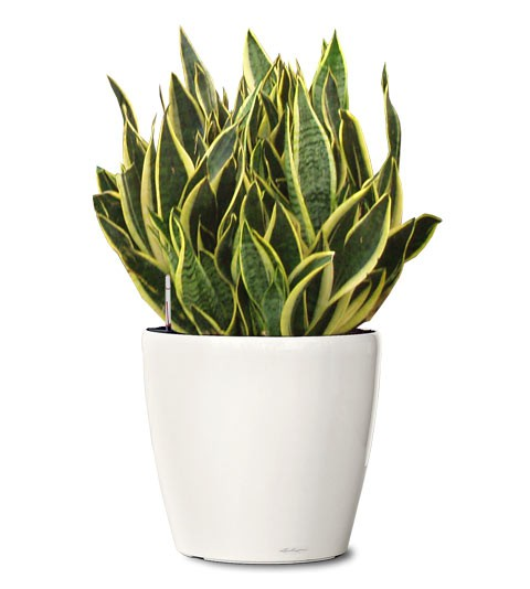 futura-superba-snake-plant-small-ornamental-sansevieria-trifasciata-futura-superba-realornementals.com-web