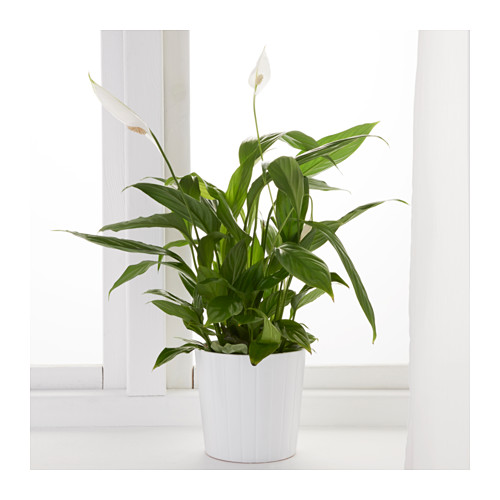 spathiphyllum-potted-plant-peace-lily__0443866_pe594593_s4