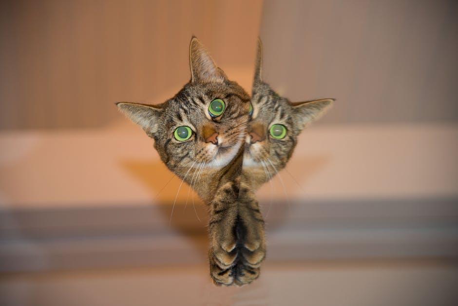 cat-pet-mirror
