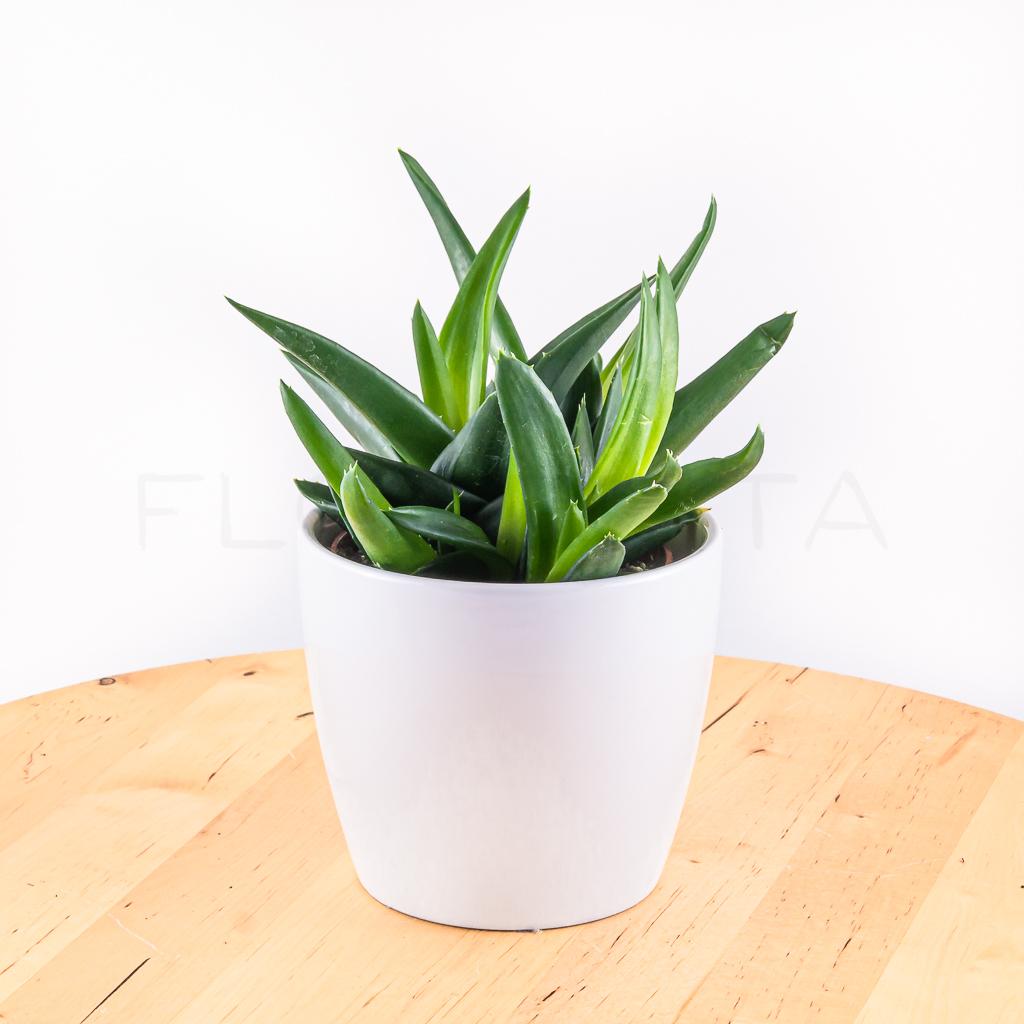 aloe-vera-florecita-001