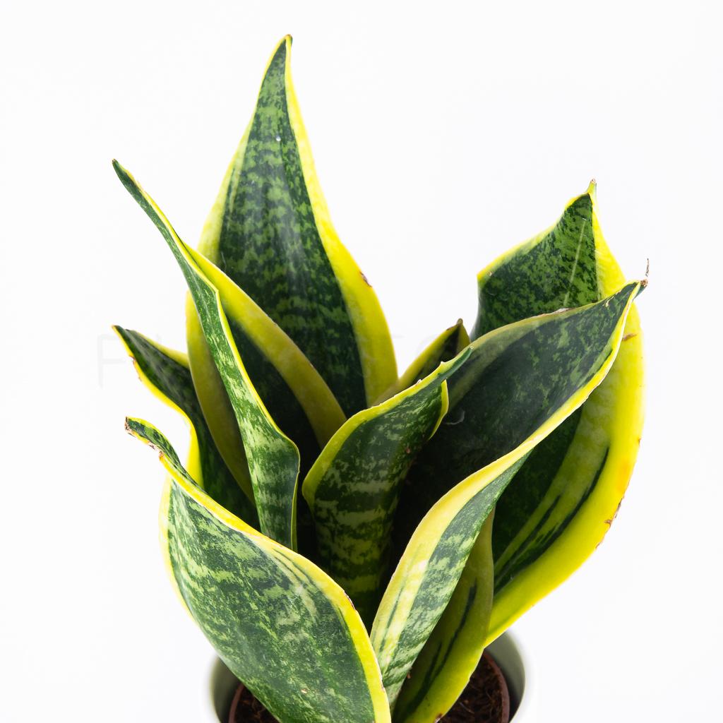 sansevieria-laurentii-florecita-025