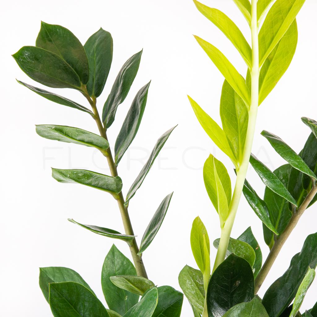 zamioculcas-zamiifolia-florecita-025