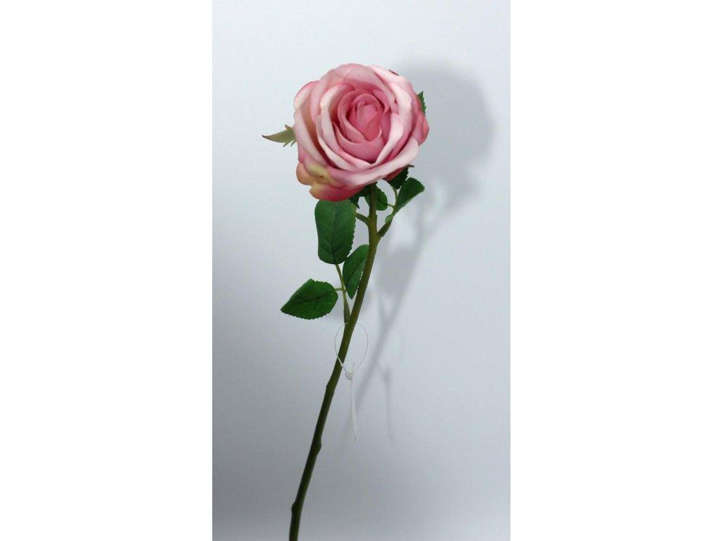 Růže růžová