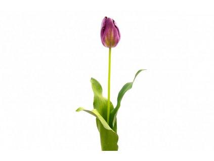 Dekorační tulipán fialový - set 2