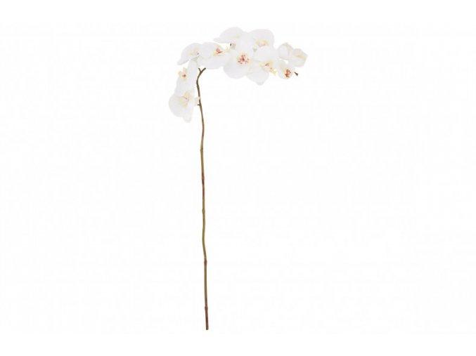 large phalaenopsis pp