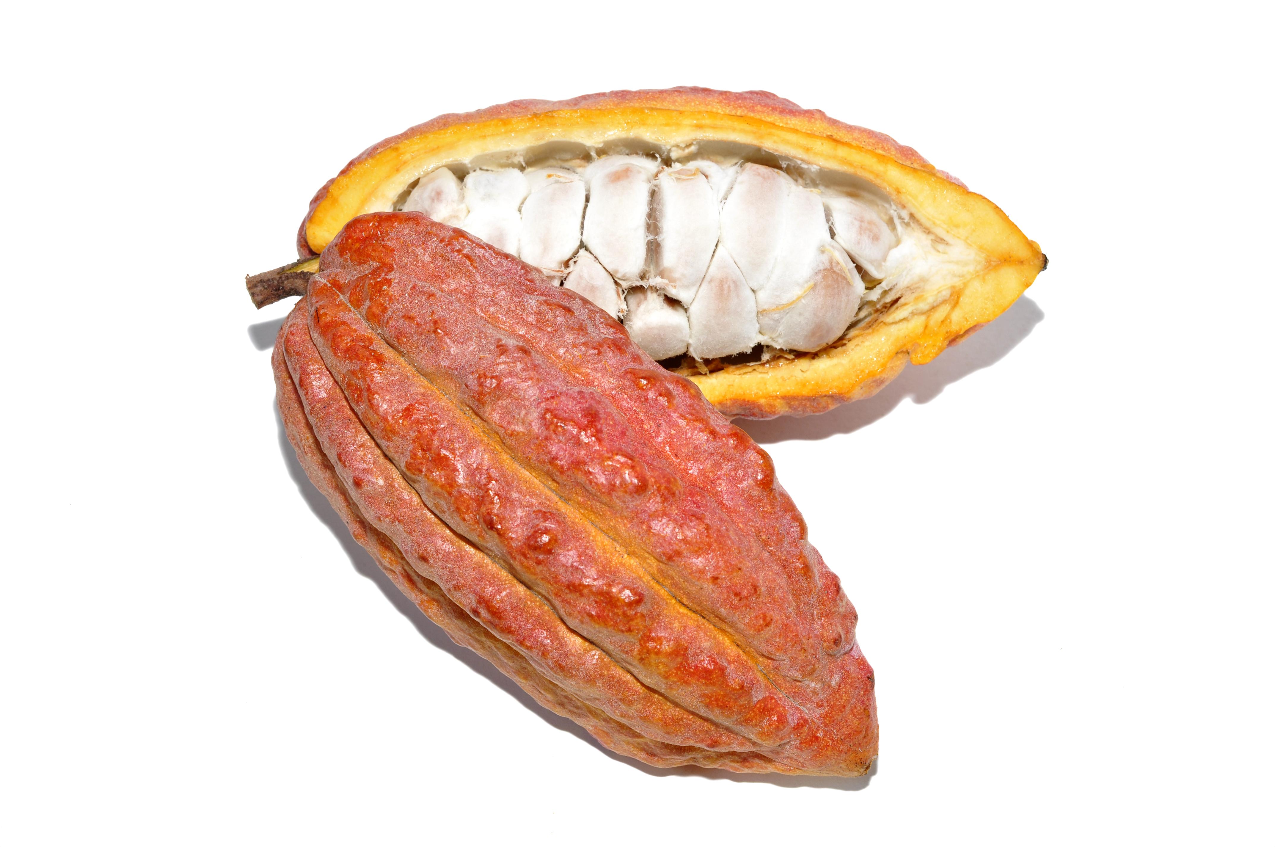 Plod kakaovníku odrůdy Criollo