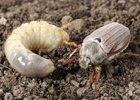 Chrúst - larvy chrústa
