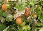 Pleseň rajčiakov