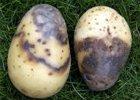 Pleseň zemiaková