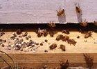 Vápenatenie včelieho plodu