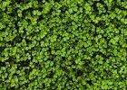 Zelené hnojenie