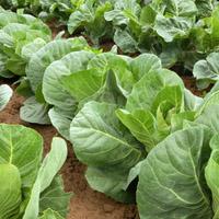 Kapustová zelenina