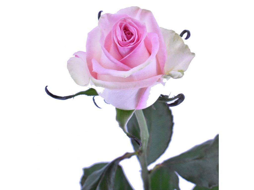 Růže barevná