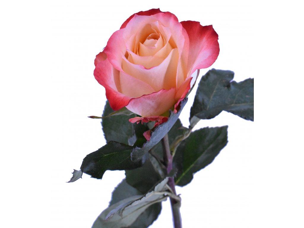 Růže Ekvádor barevná