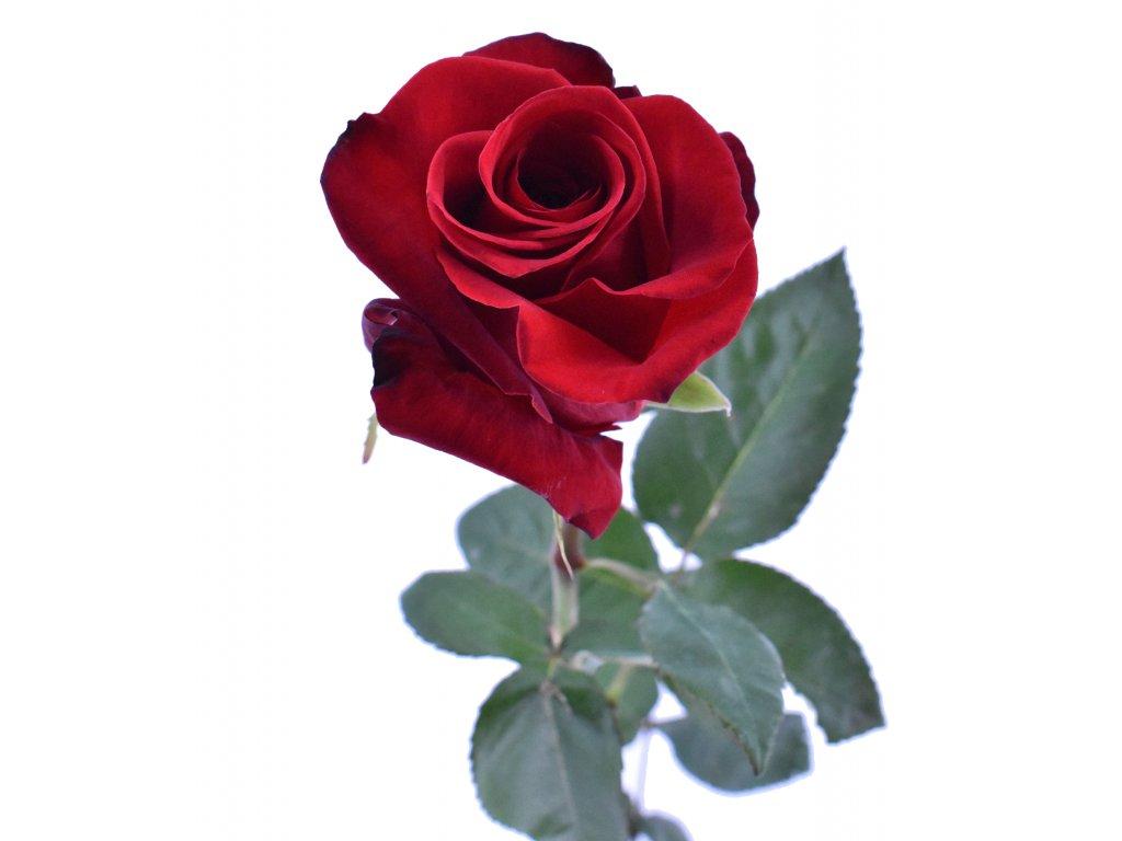 Růže Ekvádor červená