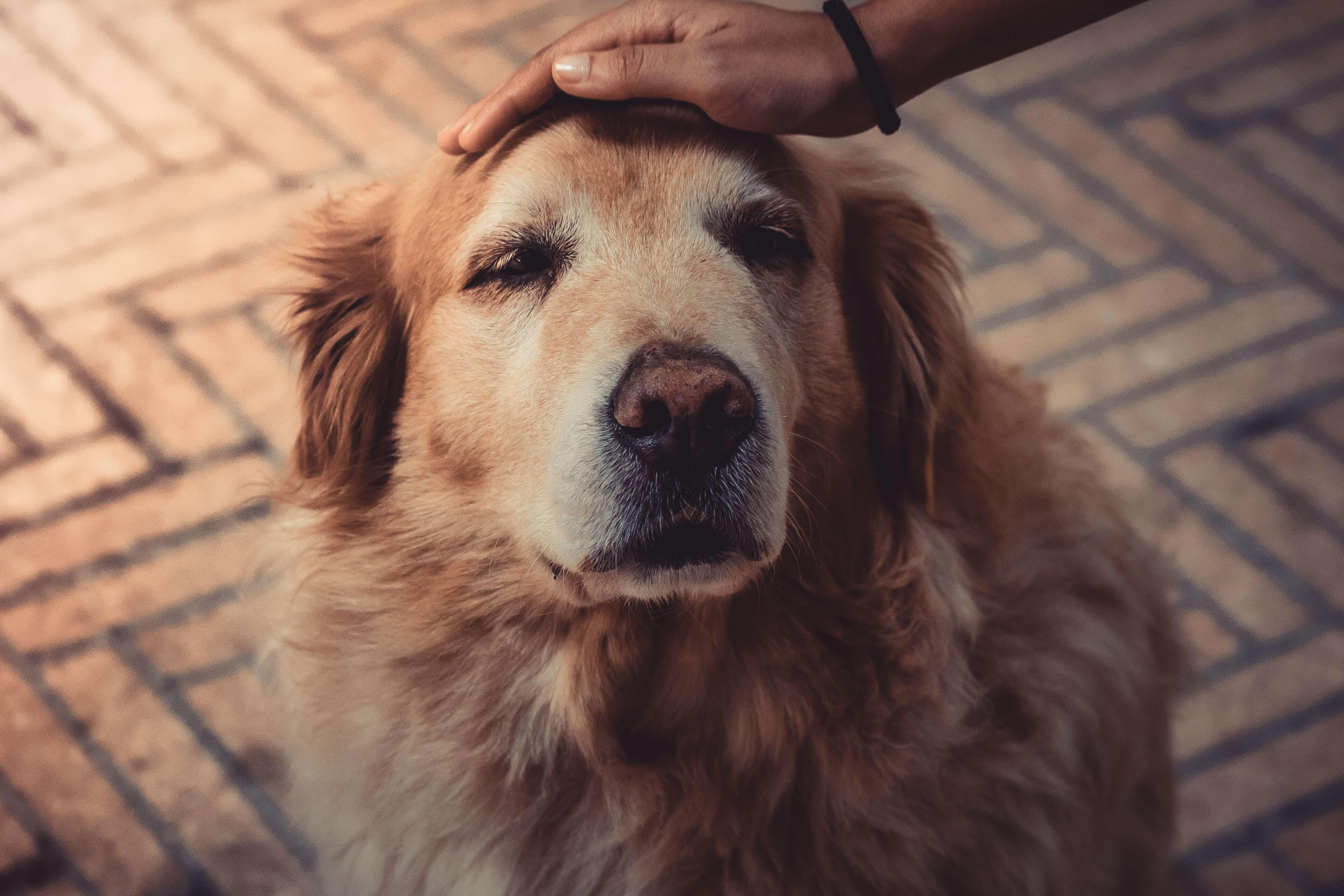 Péče o staršího psa