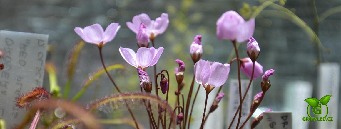 Masožravá rostlina Drosera browniana - Hatter Hill