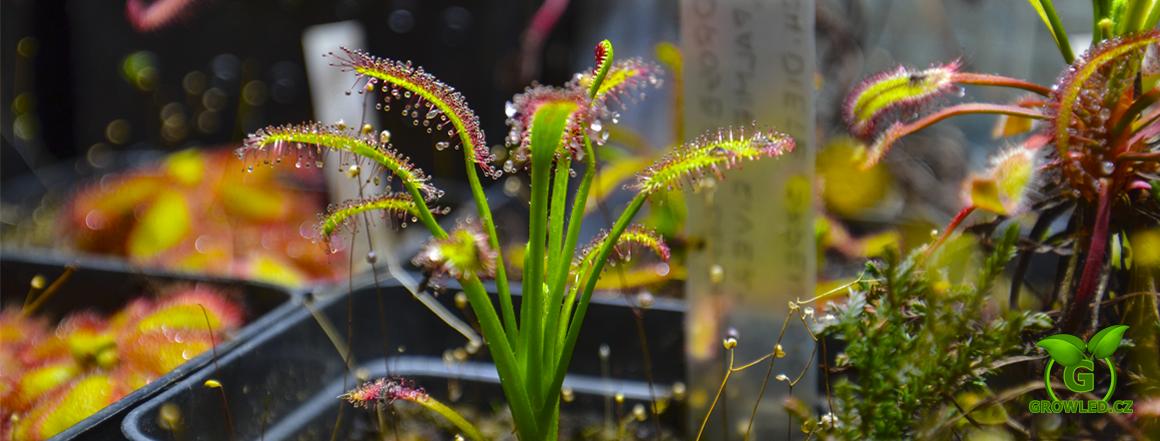 LED osvětlení masožravých rostlin