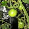 pestovani rajcat led osvetleni grow led cz