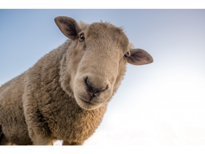 sheep 1822137 1920