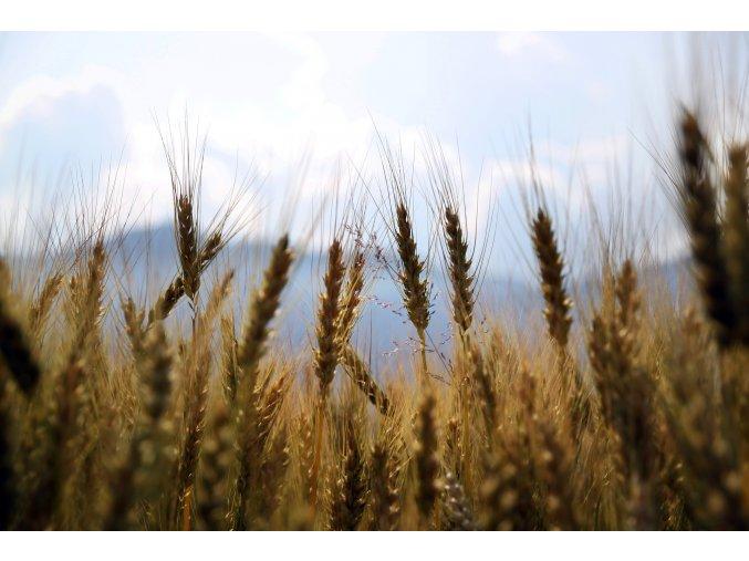 wheat 1149885 1920