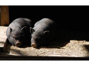 pigs 54577 1920