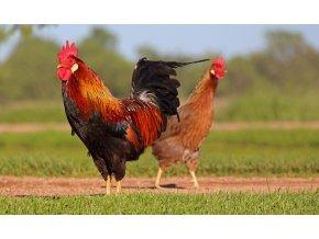 chicken 3547113 1920