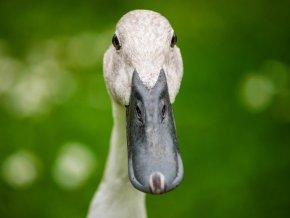 duck 1884934 1920