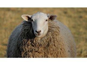 sheep 3248060 1920