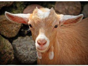 goat 1438254 1920