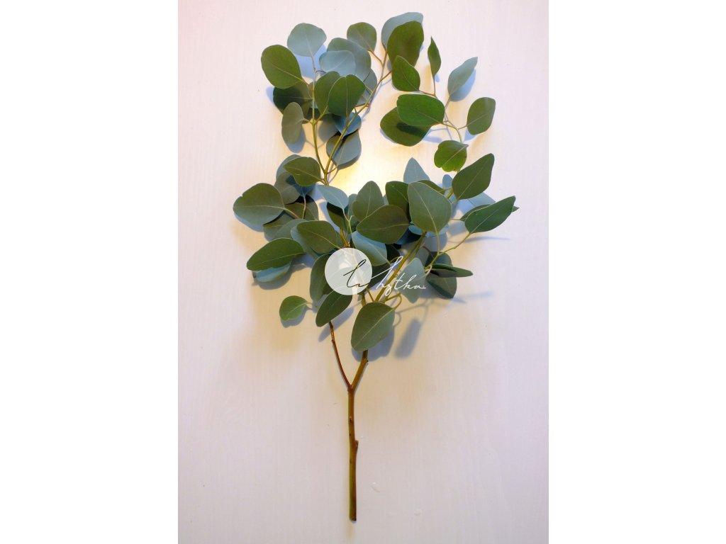 Větvička - eucalyptus populus