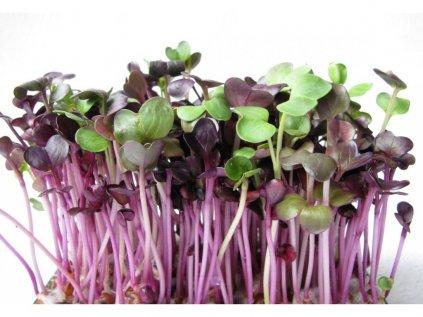 redkvicka-red-purple-seminka-kliceni