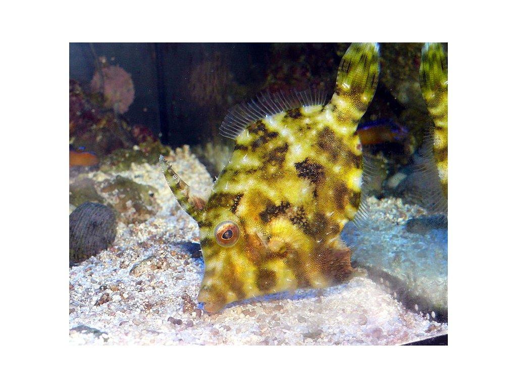 750px Acreichthys tomentosus 2