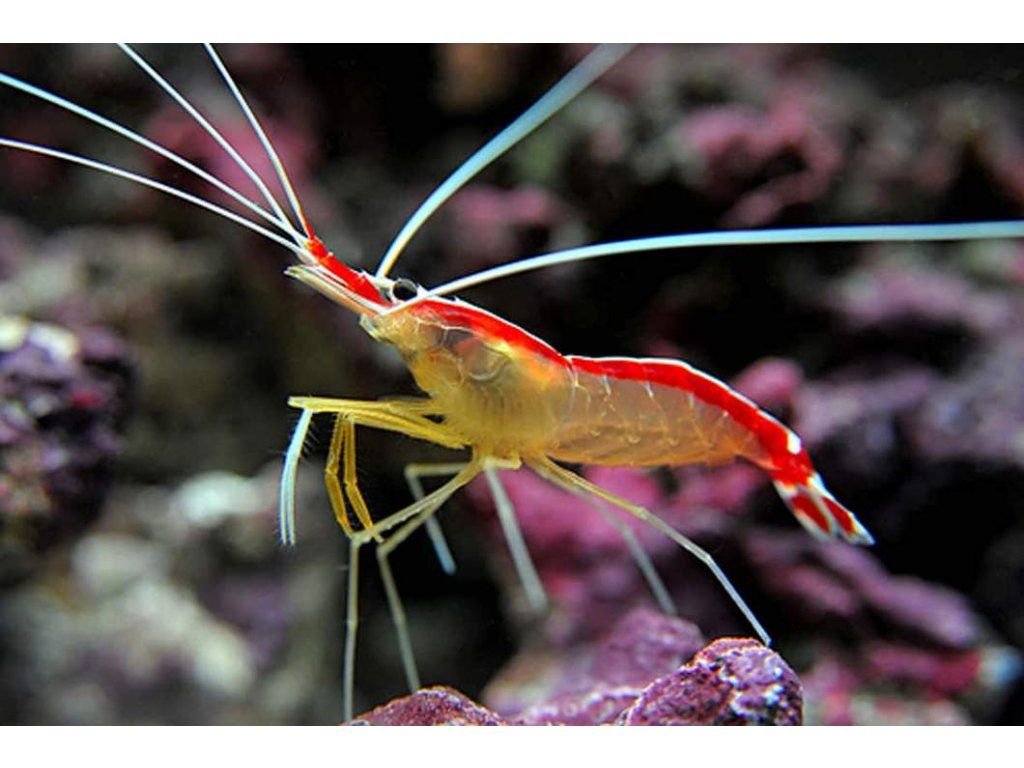 Lysmata amboinensis Skunk cleaner shrimp 530x@2x