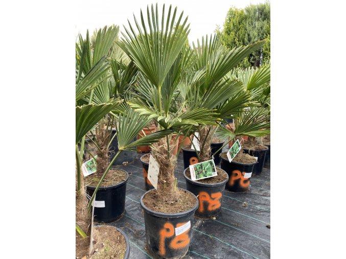 Trachycarpus Wagnerianus -17°C / -19°C