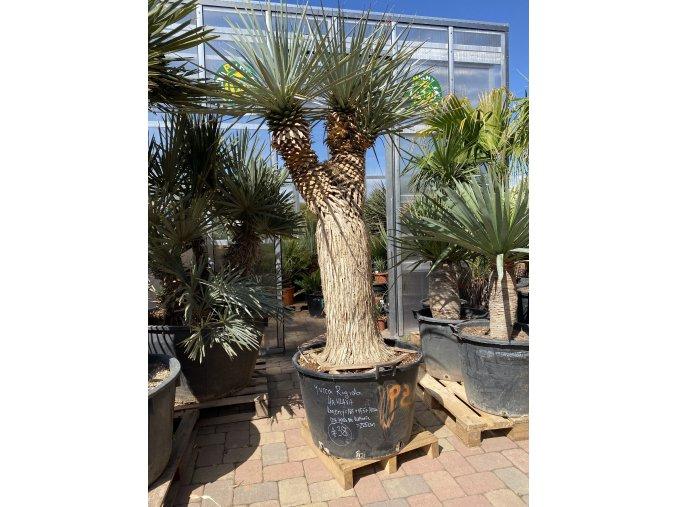 Yucca rigida /-18°C - výška v dospělosti  do  4-5 m