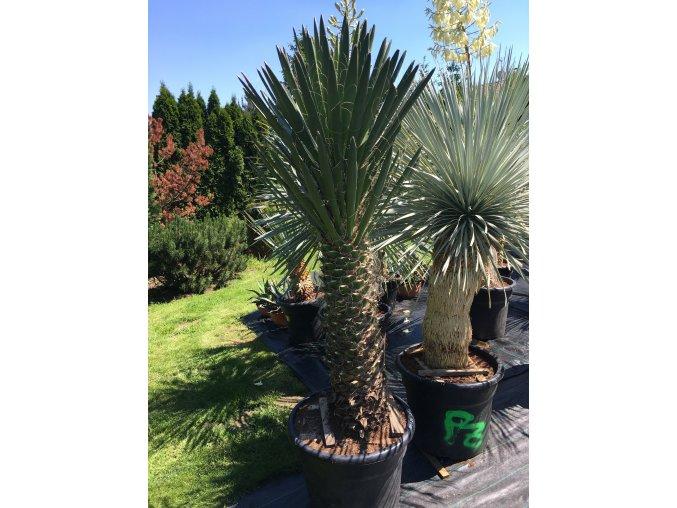 Yucca Filifera Australis-10°C - 15°C - výška v dospělosti   mezí 8 - 10 m