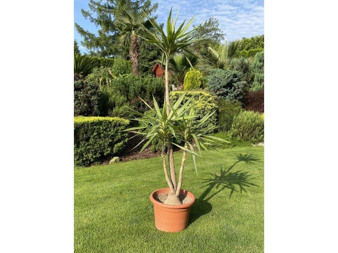Yucca Elephantipes - JEWEL