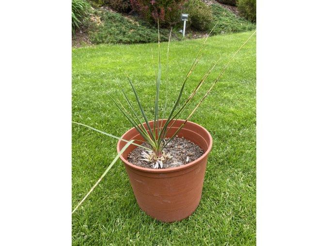 Yucca Thomsoniana - Zelená forma