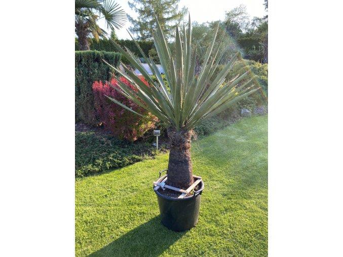 Yucca Carnerosana