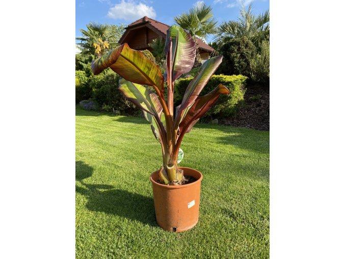 Ensete Ventricosum Maurelii - 20-30cm