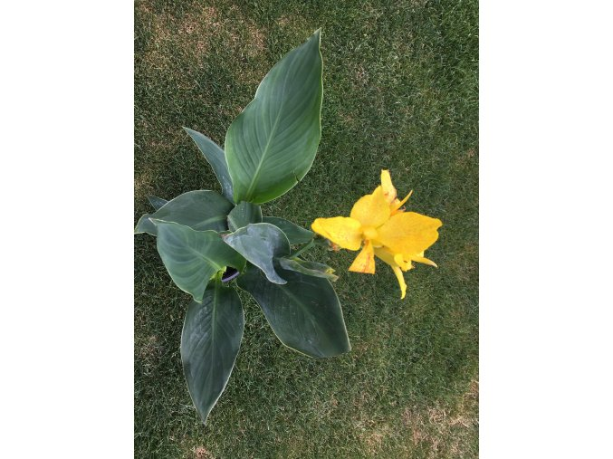 Canna indica - žlutá forma - žlutý květ - 60-70cm