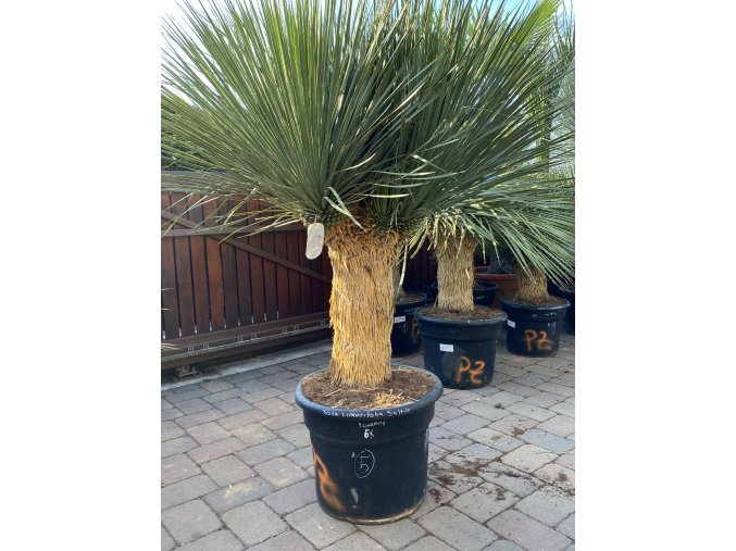 Yucca Linearis ( Linearifolia) Saltilo - Zelená forma