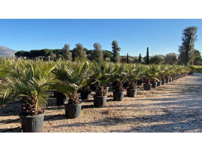 Jubaea chilensis -10°C / -15°C