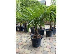 Trachycarpus - Fortunei -17°C