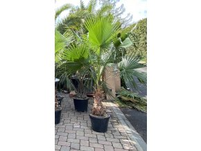 Washingtonia robusta -4°C / -8°C